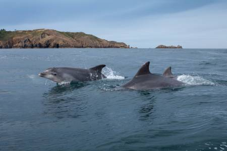 Dophins Swimming