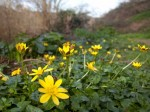 Celandines by the Grêve de la Ville footpath