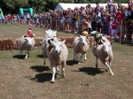 Sheep Racing is great fun