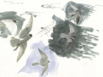 Peregrine studies, Sark    by Bruce Pearson