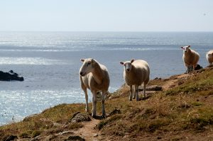 Sark sheep