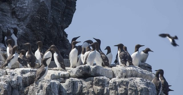 Good Times for Guillemots
