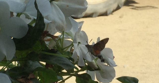 Hummingbird Hawk-moths