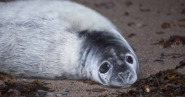 A Seal Pup on Sark