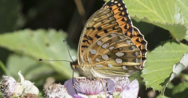 A Fine Year for Fritillaries